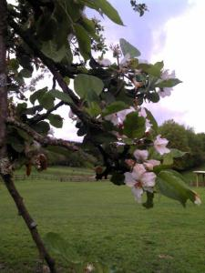 apfelblüte, II