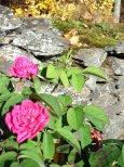 unbeirrbare rosen